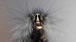 diese raupen sind gefährlich für menschen