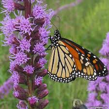 floristan violet blazing liatris american