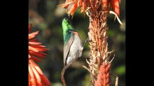 Lesser Double Collared Sunbird Feeding On Aloe - Filmed By Greg ... Pin By Thomas On Tuc Tuc Food Truck Pinterest Food Amazoncom Sunbird Seasoning Mix Hot Spicy Szechwan 075 Oz 4 Sunbird Kitchen Orleans Ma 21st Century Restaurant In Cape Cod Soup Egg Drop Grocery Gourmet Kanguru Tacos Trucks 52 Head Of The Meadow Rd North Truro Nuts About Granola Cape Cod Magazinecape Magazine 107 Best Foodtruck Images Strollers Carts And Phad Thai Jane Wilkions World Page 3 Fried Rice 46