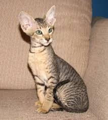 Brown Mackeral Tabby brush coat male peterbald kitten