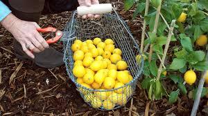 growing meyer lemons in containers organic gardening