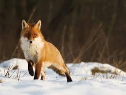Imagenes De Animales De Granja Para Pintar Djdareve Com Zorro Artico Para Pintar