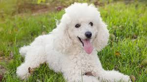 Hypoallergenic Dog Breeds That Dont Shed by Best Small Dogs For Kids Choosing The Perfect Pet For Your Family