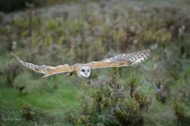 Barn Owl-2   Hooters   Pinterest   Barns And Ps Barn Owl Tyto Alba Hspot Birding A Owls Are Silent Predators Of The Night World Adult At Nesthole In Mature Ash Tree 4th Grade Science Ms Malnado Ppt Video Online Download Owl By Aditya Salekar Jungledragon New Zealand Birds Online Ghostly Pale And Strictly Nocturnal Pair Baby Walking On Stock Photo 1729403 Shutterstock Great Horned Wikipedia Incredible Catures Flying Oil Speed Parody Wiki Fandom Powered Wikia Male Barn Standing On A Post Royalty Free Image