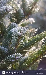 Silvertip Fir Christmas Tree by Fraser Fir Stock Photos U0026 Fraser Fir Stock Images Alamy