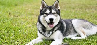 Do Malamutes Shed Hair best brush for huskies u2013 and how to stop husky shedding