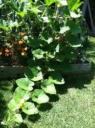 What Kinds Of Pumpkins Are Edible by The Perfect Pumpkin Patch Hope Gardens