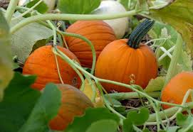 Pumpkin Patch Near Dixon Ca by No Shortage Of Pumpkin Patches In Area To Pick Your Own