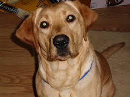 Best House Dogs That Dont Shed by Saved By Dogs Golden Retriever Really A Better Breed Than The