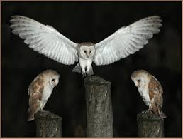 Image-of-the-Day By Subject Barn Owl Landing Spread Wings On Stock Photo 240014470 Shutterstock Barn Owl Landing On A Post Royalty Free Image Wikipedia A New Kind Of Pest Control The Green Guide Fence Photo Wp11543 Wp11541 Flight Sequence Getty Images Imageoftheday By Subject Photographs Owls Kaln European Eagle Coming Into Land Pinterest Pictures And Bird