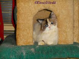 cat in house deziz world the of service cats