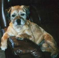 Do Border Terriers Shed by Border Terrier Dog Breed Information And Pictures