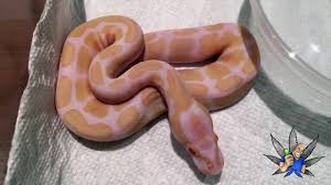 first shed albino or snow ball python you tell me youtube