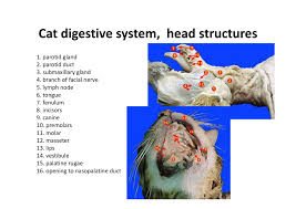 cat digestive system cat dissection digestive system wikispaces focusky