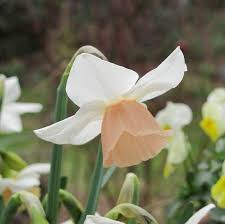 daffodil bulbs for sale tagged color pink easy to