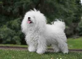 Hypoallergenic Non Shedding Small Dog Breeds by A Review Of The Best 70 Hypoallergenic Dogs That Don U0027t Shed Small