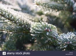 Silvertip Christmas Tree by Nordman Christmas Tree Stock Photos U0026 Nordman Christmas Tree Stock