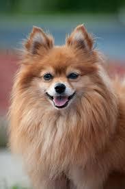 Do Pomskies Shed Fur by The 25 Best Pomeranian Husky For Sale Ideas On Pinterest Tiny