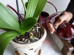 orchidée phalaenopsis trucs et astuces