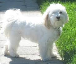 top 10 small dogs that don t shed dog havanese and dog breeds