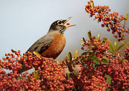 American Robin | Audubon Field Guide North American Birds The Rheaded Woodpecker Has Black Upper National Geographic Backyard Guide To The Of America Snow 10 Look For In Winter Cool Green Science Sibleys Western Poster Scott Nix Northern Flicker Colaptes Auratus State Americas 2016 More Than Onethird Need Carolina Print Warming Temperatures Are Pushing Two Chickadee Speciesand Their Of Northeast David Sibley Pictures On Cheap Amazing Find Deals On