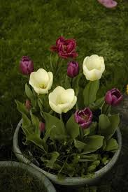 how to care for potted tulips winter