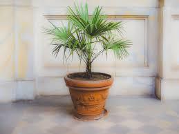 palmen düngen so vermeiden sie fehler heimhelden