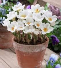 free ship saffron seeds saffron flower seeds saffron crocus seeds