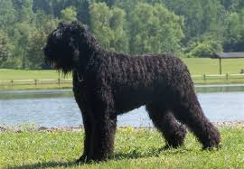 Large Dogs That Dont Shed by 9 Large Dogs That Don U0027t Shed Pet Symptoms