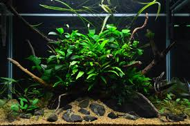 Favourites: Lowtech Tank By Alejandro Meneses This Is About 3 ... 329 Best Aquascape Images On Pinterest Aquarium Ideas Floratic Visiting Paradise At Shah Alam Planted Aquarium Aquascape Things Aquariums Aquascaping Malaysia Diy Pertama Kali Aquascaping October 2010 Of The Month Ikebana Aquascaping World Sumida Aquarium Reloaded Fish Tanks And Designs Awesome A Moss Experiment Its All About Current Low Tech Tank Cuisine Wonderful Small Cubical Styles Planted The Surreal Submarine Amuse