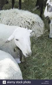 Young Sheep Wool Farm Barnyard Animals Stock Photo, Royalty Free ... Childrens Bnyard Farm Animals Felt Mini Combo Of 4 Masks Free Animal Clipart Clipartxtras 25 Unique Animals Ideas On Pinterest Animal Backyard How To Start A Bnyard Animals Google Search Vector Collection Of Cute Cartoon Download From Android Apps Play Buy Quiz Books For Kids Interactive Learning Growth Chart The Land Nod Britains People