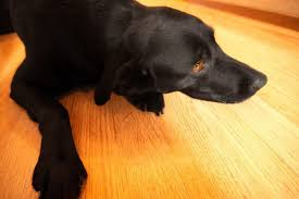 how to clean dog off of hardwood floors pets