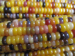 The Origins And Journey Of Carl's Glass Gems Rainbow Corn By Greg ... Prettiest Popcorn I Ever Did Grow The Unfettered Fox Glass Gem Corn Littlegirlstory Glass Gem Corn The Cover Of Our Whole Seed Catalog Carls Flint Is An Unbelievably Stunning Bred By Part Hdenosaunee The Iroquois Confederacy Tuscarora White Oliveloaf Design Afbeeldingsresultaat Voor Peru Brazil Colored Pinterest 9 Best Sweetcorn Images On Color 2 Cob And Maze Story Behind Business Insider 1293 Indian Fruit Pink Popcorn