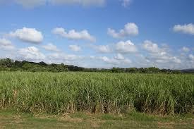 Sugarcane Valle De Los Ingenios Cuba