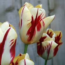 grand perfection rembrandt tulip flower bulbs x 25 tulips
