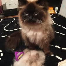 Shedding Blade Vs Furminator by Best 25 Cat Shedding Ideas On Pinterest Cat Sneezing Crazy