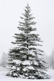 Type Of Christmas Trees Decorated In India by When To Prune Your Garden Pruning Calendar For Plants