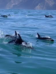 Photograph Of Dusky Dolphins