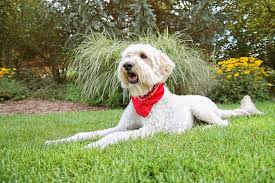 non shedding hypoallergenic hybrid dogs the 12 cutest mixed breed dogs reference