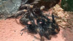 watch a tarantula crawl out of its own skeleton