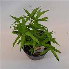 pleioblastus viridistriatus vagans bambou nain vert clair très