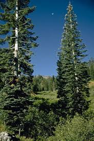 50 White Fir Tree Seeds Abies Concolor Iowiana