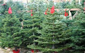 Fir Or Plastic Oakland Residents Weigh Their Christmas Tree Options