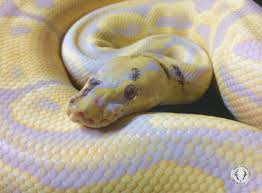 Ball Python Shedding Signs by Candino Paradox Ball Python By Ball Python Shed Morphmarket Usa