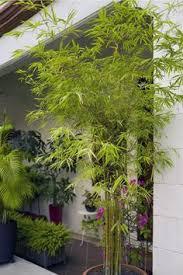 bambus sichtschutz im garten und als kübelpflanze im