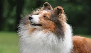 Sheltie Shedding Puppy Coat by Shetland Sheepdog Dog Breed Information