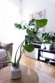 die monstera in der vase auf dem wohnzimmer tisch w