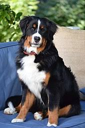 Dogs That Shed Very Little by Bernese Mountain Dog Wikipedia