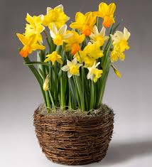 yellow narcissus pre planted flower bulb gift garden plowhearth