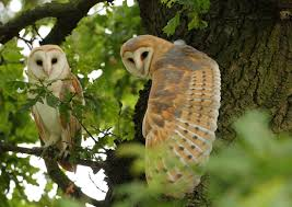 Barn Owl Pair, Full Wing Stretch In The Middle Of An Oak Tree ... Barn Owl Perching On A Tree Stump Facing Forward Stock Photo The Owls Of Australia Australian Geographic Audubon Field Guide Beautiful Perched 275234486 Barred Owl Vs Barn Hollybeth Organics Luxury Skin Care Why You Want Buddies Coast News Group Sleeping By Day Picture And Sitting Venezuela 77669470 Shutterstock Rescue Building Awareness Providing Escapes And Photography Owls Owlets At Charlecote Park Barnaby The Ohio Wildlife Center